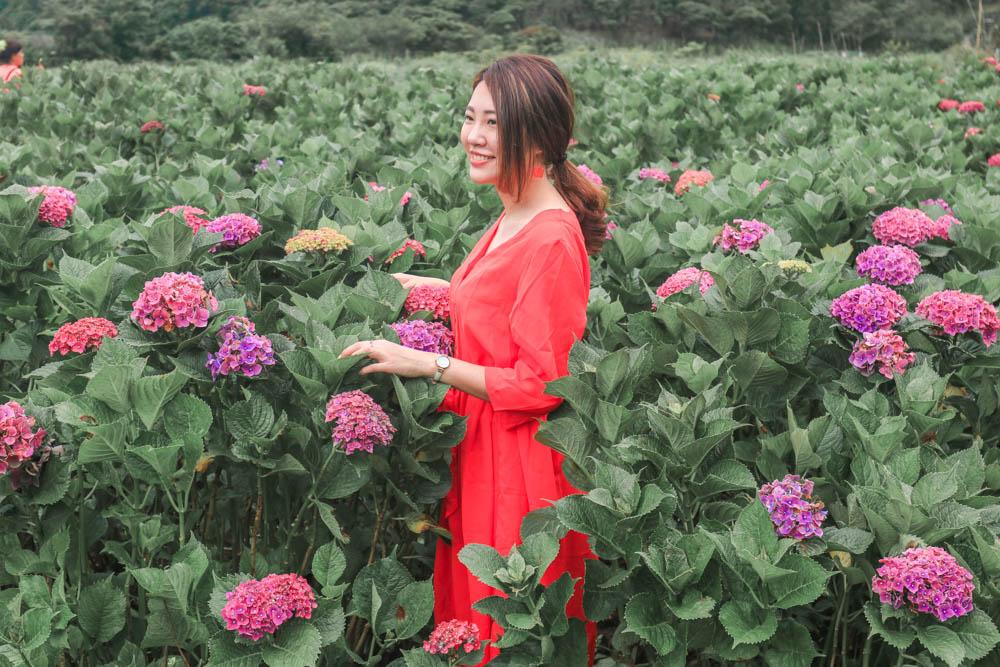 陽明山繡球花交通