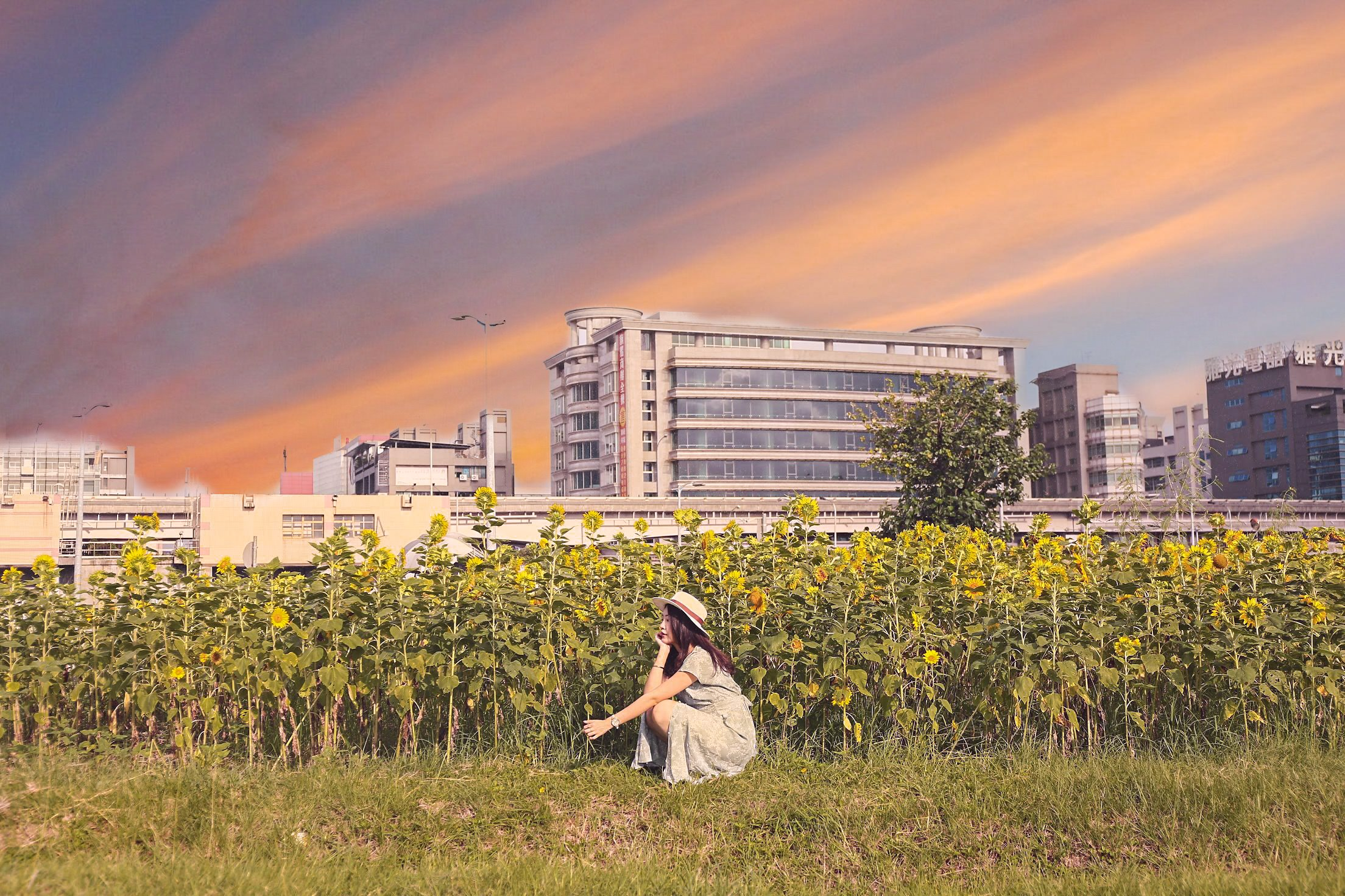 彩虹河濱公園向日葵