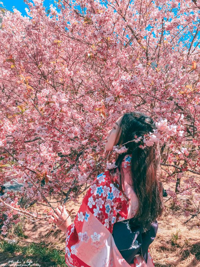 武陵農場櫻花花況