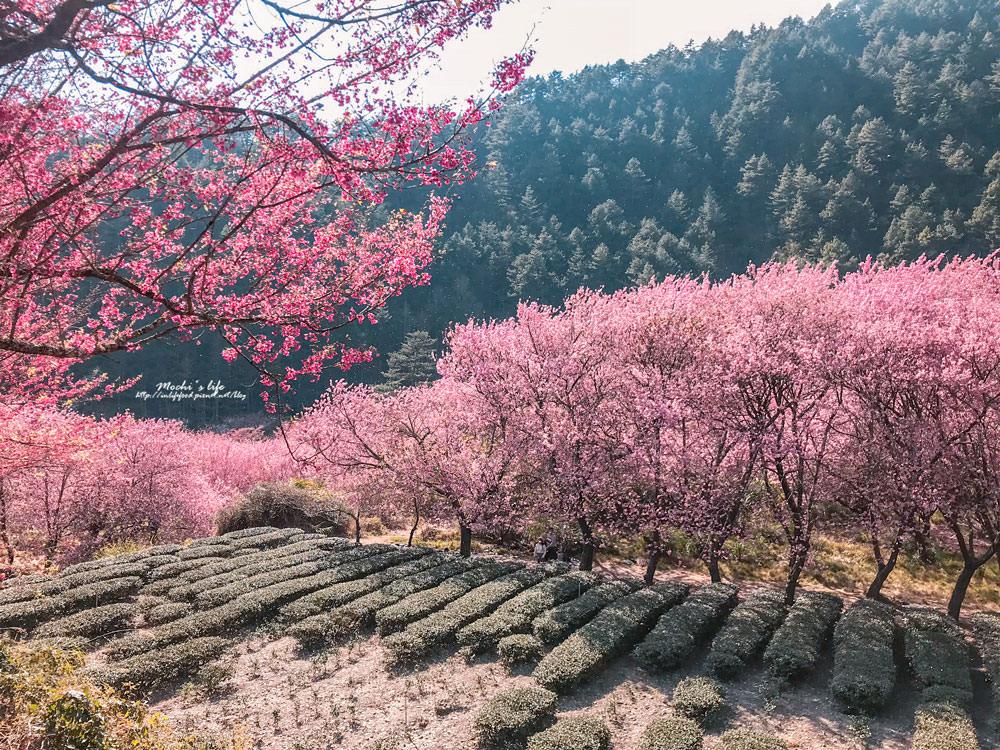 武陵櫻花季2019
