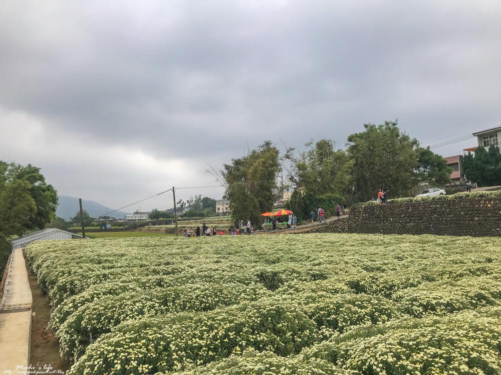 銅鑼杭菊2019