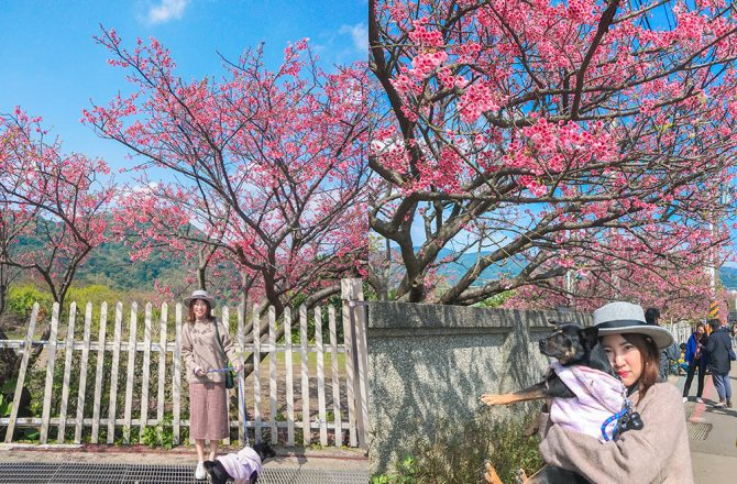 平菁街陽明山櫻花最新花況!教你怎麼搭公車去賞櫻~粉紅滿開美景~平菁街櫻花巷交通