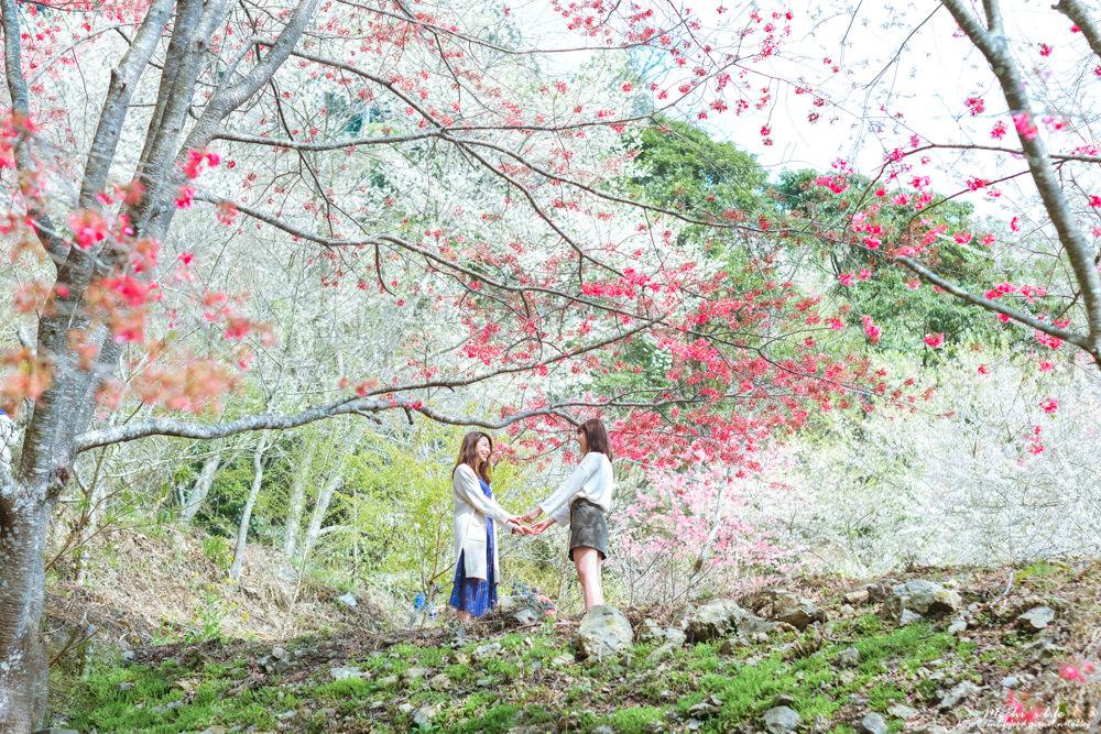 新竹櫻花景點