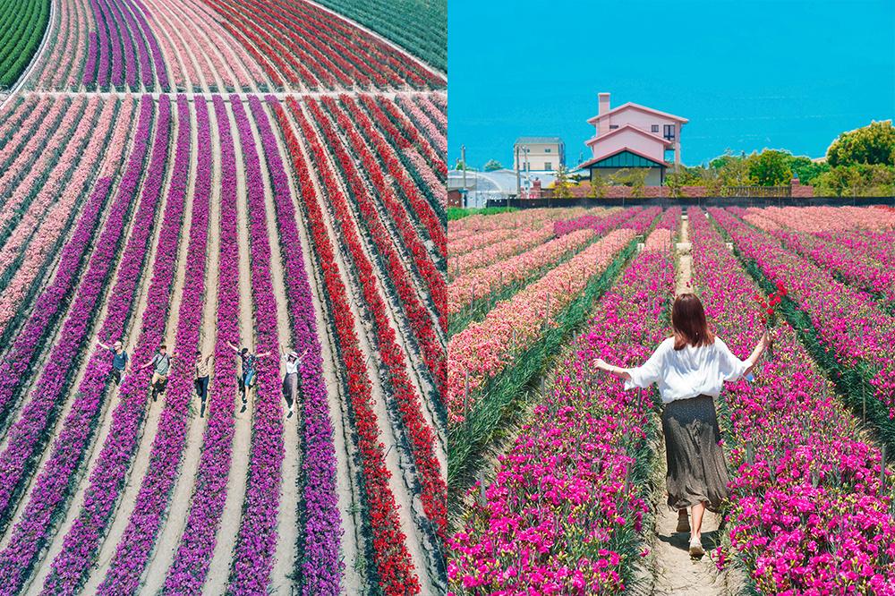 彰化田尾公路花園景點|最新!五彩繽紛康乃馨花海,母親節應景一日遊景點