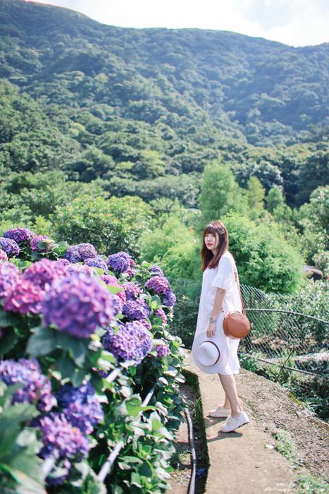 陽明山繡球花花況