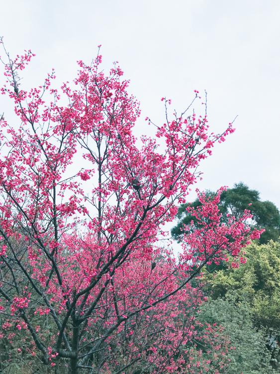 新北櫻花景點