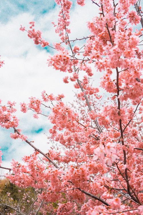 恩愛農場櫻花,拉拉山櫻花,拉拉山恩愛農場,恩愛農場接駁,拉拉山路況