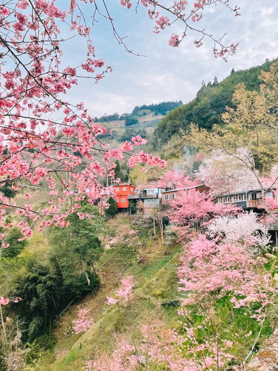 拉拉山櫻花管制,恩愛農場接駁,拉拉山櫻花住宿,楓墅農場,拉拉山櫻花季