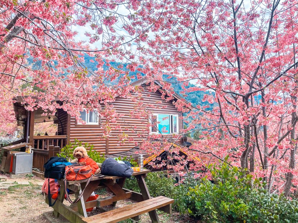 拉拉山櫻花季,楓墅農場,拉拉山櫻花管制,桃園櫻花秘境,恩愛農場櫻花