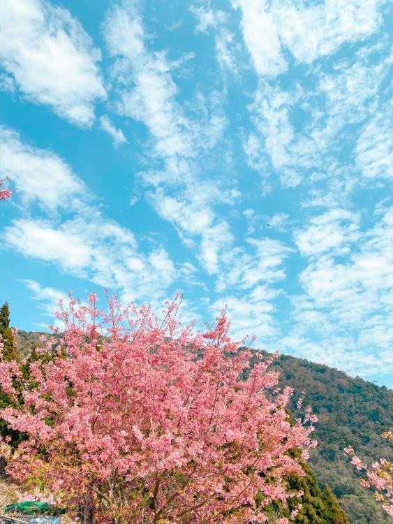 拉拉山櫻花管制,恩愛農場接駁,拉拉山櫻花住宿,觀雲山莊,拉拉山櫻花季