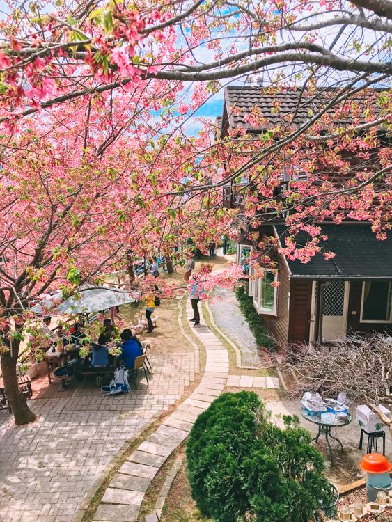 拉拉山櫻花,拉拉山櫻花2021,拉拉山住宿,拉拉山櫻花住宿