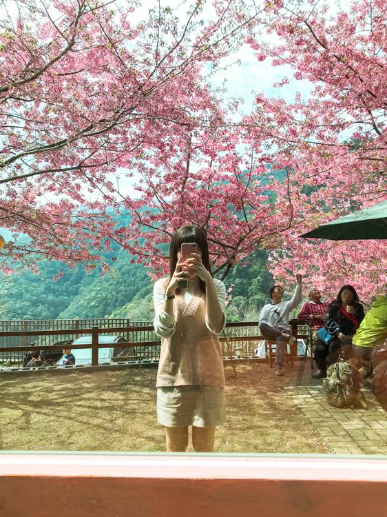 拉拉山櫻花季,觀雲山莊,拉拉山櫻花管制,桃園櫻花秘境,恩愛農場櫻花