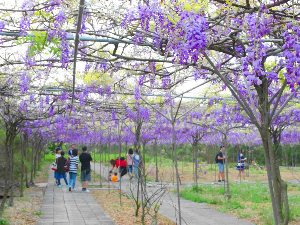 紫藤花淡水