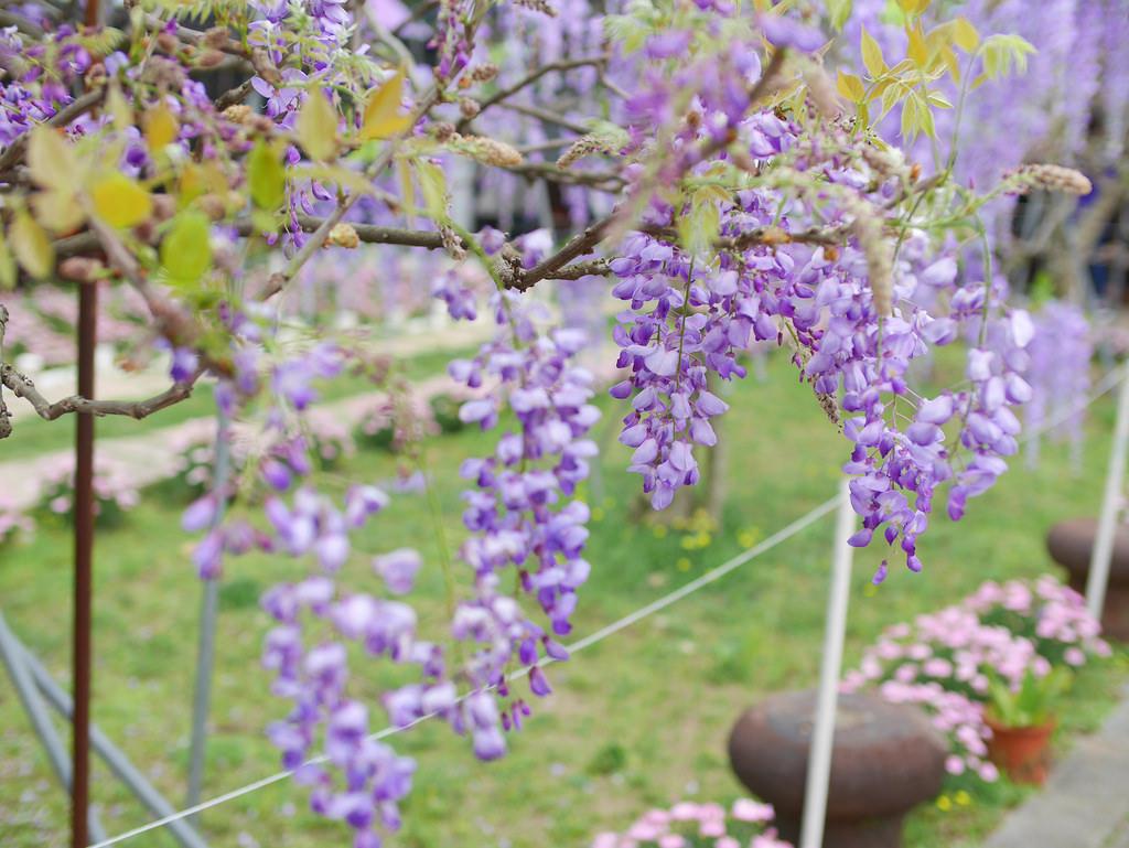 台北紫藤花