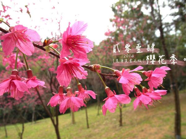 桃園櫻花 ▌「角板山公園櫻花」:角板山不只有梅花也有櫻花×復興角板山2014/01/26花況